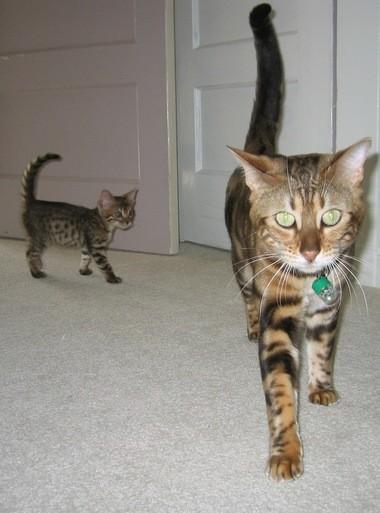 Pet Talk: Sherwood sanctuary a haven for hybrid cats - oregonlive com