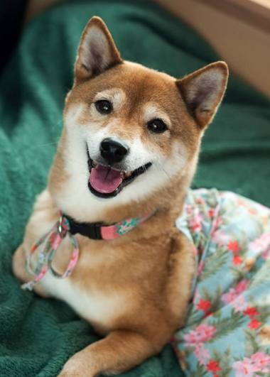 """Jewel Inu will be the blushing bride at a Shiba """"wedding"""" ceremony to raise money for NW Shibas4Life Rescue."""