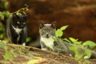 """Advocates for feral cats say Trap-Neuter-Return programs are a humane and effective way to control the feral cat population. Cats that have been fixed are marked with the trademark """"eartip."""""""