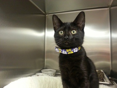 Black cats often get passed up for their more-colorful kennel mates at Cat Adoption Team.