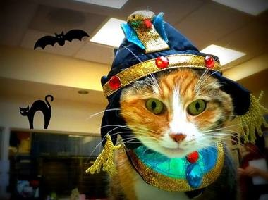 "Maggie, the clinic cat at Rose City Veterinary Hospital, dressed as ""Cleo-catra."""