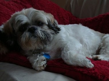 Louie, a 13-year-old Shih Tzu, struggled with Canine Cognitive Dysfunction.