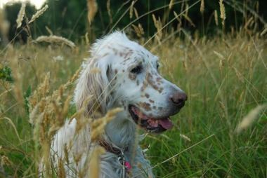 Autumn, an English setter, enjoys hiking with her owner, Sandy Miller, a veterinary technician at Dogwood Pet Hospital in Gresham.
