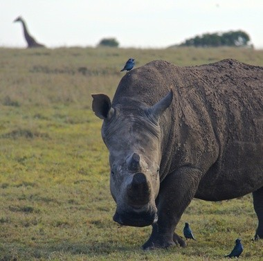 A rhino at Ol Pejeta Conservancy in Kenya.