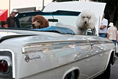 Not all dogs in cars are in distress. Know the signs.