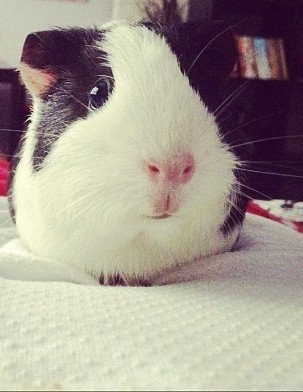 Vasilisa the Guinea Pig, who will turn two in September, is friendly, playful and purrs when she's happy.