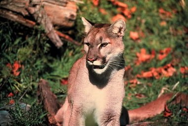 Oregon's cougar population has exploded in recent years, raising fears of increased encounters with humans. The Legislature is looking at proposals to allow a return to the use of hounds by hunters.
