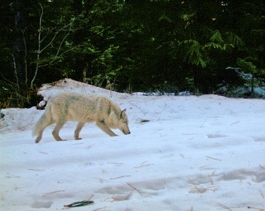 A gray wolf pup from northeast Oregon's Wenaha pack sniffs snow in western Wallowa County. Ranchers and environmentalists are once again at odds over how to handle the state's plan to reintroduce wolves to the state.
