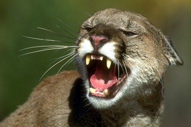 Mountain lions are among the creatures getting gentle treatment by Oregon lawmakers in a session where animal bills have proliferated.