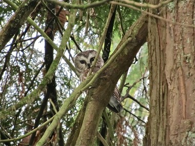 A northern saw-whet owl, one of several species that participants in the Friends of Tryon Creek Owl Citizen Science Project are trying to hear and document in the park. This photo was taken in the park.
