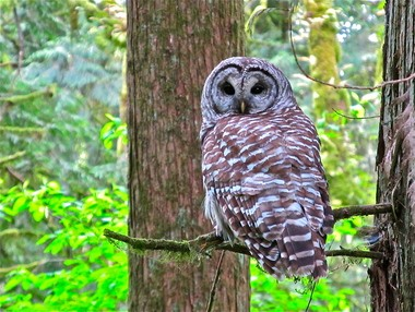 Barred owls breed and nest in the Tryon Creek State Natural Area, where this example was photographed.