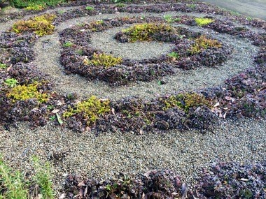 Vicki Wilson planted a spiral of hens and chicks, a succulent plant, in her front yard.