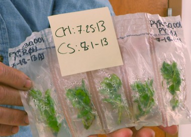 Pouches containing living plant clippings are stored in walk-in refrigerators at temperatures just above freezing. Each pouch is labeled with the date the clipping was stored. Some samples remain viable for several years.