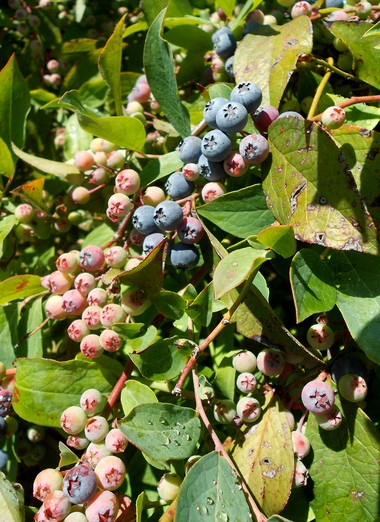 Rabbiteye blueberries, pictured here, are native to parts of Southeastern United States and are among the later-blooming varieties of the fruits.