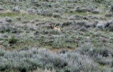 OR-7, Oregon's most famous wolf, has crossed back into the state from California, at last report. Eastern Oregon farmers and ranchers are concerned about attacks by other wolves on their livestock.