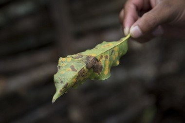 In this May 22, 2014 photo, coffee producer Alexander Illescas shows a coffee leaf that has damage from the coffee rust fungus in Ciudad Vieja, Guatemala. The airborne disease strikes coffee plants, flecking their leaves with spots and causing them to wither and fall off.