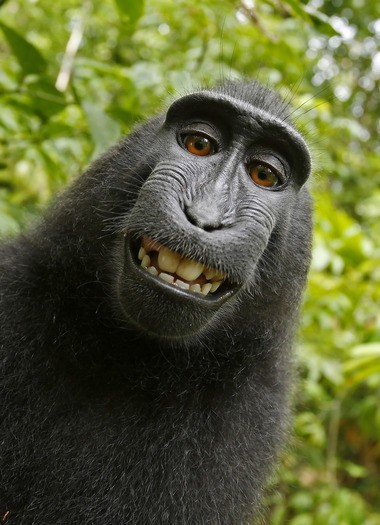 This 2011 photo provided by People for the Ethical Treatment of Animals shows a selfie taken by a macaque monkey on the Indonesian island of Sulawesi with a camera that was positioned by British nature photographer David Slater. The photo is part of a court exhibit in a lawsuit filed by PETA in San Francisco on Tuesday. (David Slater/Court exhibit provided by PETA via AP)