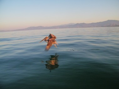 Brown pelicans skim the waves endlessly, searching the healthy sea for a meal