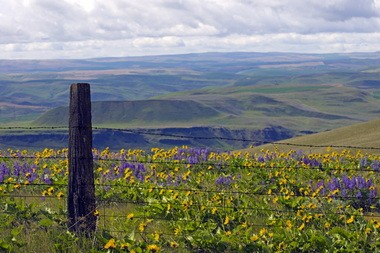 Golden balsamroot and purple lupine at The Dalles Mountain Ranch
