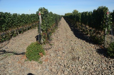 A vineyard in the Rocks District of Milton-Freewater.