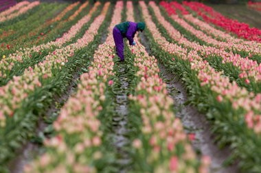 A worker harvests flowers at the Wooden Shoe Tulip Farm.