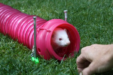 Ferret games, including the tube run and the bag bust, begin at 2 p.m.