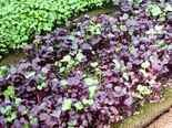 These micro greens are ready for garnishing.