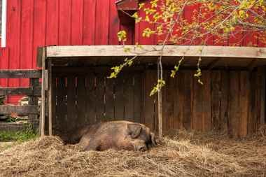 Oliver, a 700-pound rescue pig, makes himself home at Goodstone Inn.