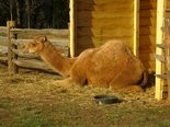Aladdin the camel spends the holiday season at Mt. Vernon. In 1787 George Washington rented one for the enjoyment of his family and guests.
