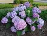 "Common ""mophead"" hydrangeas (Hydrangea macrophylla) are not U.S. natives."