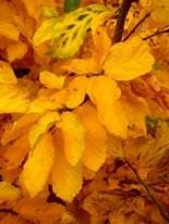 Parrotia fall foliage