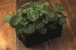 A pack of traditional zonal geraniums with their tell-tale curved dark pattern to the leaves.