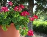 Ivy geraniums have a more trailing habit.
