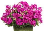 The new interspecific geranium Boldly 'Lavender Rose.'