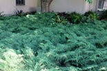Russian cypress is planted here under a tree as a groundcover.