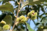 This chinkapin tree is the first to begin producing nuts in Hershey Gardens' new nut grove.