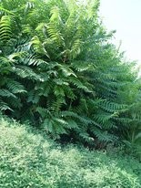 The tree of Heaven is one of our toughest-to-eradicate weed trees.