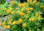 Butterfly weed is a native plant that won a 2015 Green Ribbon award from Jenkins Arboretum near Philadelphia.