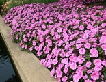 Impatiens Bounce Pink Flame is one new annual flower that won a 2015 All-America Selections national honor.