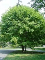 Yellowwood won the 2015 award of Urban Tree of the Year.