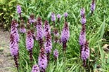 Blazing star is a summer-blooming native perennial.