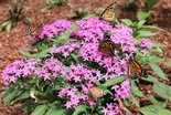 Monarch butterflies are flocking to this blooming pentas, a non-native annual flower.
