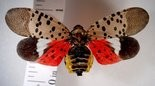 The spotted lanternfly is a showy bug when its red wings are open.
