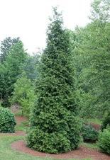 Arborvitae 'Green Giant' is apparently a favorite food of the Japanese cedar longhorned beetle.