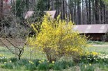 Late spring is the time to prune shrubs that already have bloomed for the season, such as forsythia.