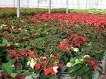 "These poinsettias are in the process of ""coloring up"" inside Quality Greenhouses, a large poinsettia grower near Dillsburg."