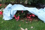 Tender flowers can be covered overnight with floating row cover in case a late frost comes along.