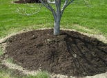 Don't pack mulch up against tree trunks like this. Keep it a few inches back away from plant trunks and stems.