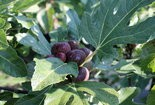 These fresh figs are just about ready to harvest.
