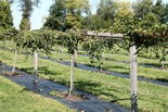 The Clymers are growing their kiwi vines on sturdy, lumber pergolas.